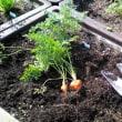 レンタル菜園で収穫したよ