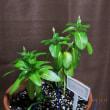 ニチニチソウ2品種を育てて3回目の夏・・・・・・2018年・筑前のガーデニング日記(3)