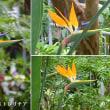 ストレリチアの花は