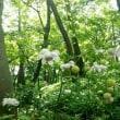 キツネノカミソリ・殿ヶ谷戸庭園