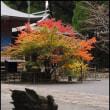 白鳥神社本殿モミジの紅葉