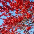梅もどきの実がきれいです