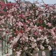 春満開ですね!