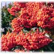 厳寒の時期の彩り(^^♪重さで枝がしなるほどたくさんの赤い実が…、緑色の葉とのコントラストも非常によい「ピラカンサ」