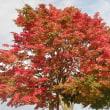 道東 標茶中学校の紅葉の並木道