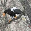 今日の鳥 オオワシ 久し振りのオオワシ 油断した隙に飛ばれました。