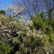 神代植物公園の梅園です 其の2