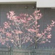 寒緋桜のツボミ