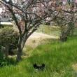 柴 八重桜🐾