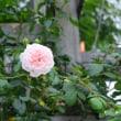 9月14日つるバラのシンデレラ