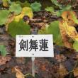 10月7日 活動報告 2 ラッパスイセンと銀杏