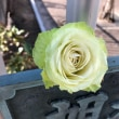 白菜色の薔薇