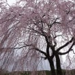 18年4/25~開田高原~サクラ~25
