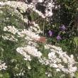 花盛りのレースフラワー
