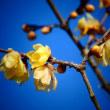 『ロウバイ』 春の香り