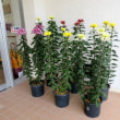 10/27 玄関に菊の花が置かれています