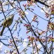 桜にウグイス  速い桜前線