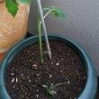 トマトの刺し芽