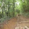 福智山のヤマボウシ