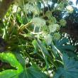 垣根にあるヤツデの 花と実