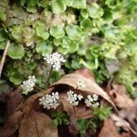 朝霧高原早春の花:セントウソウ