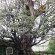 旧細川邸の椎の木