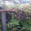 無肥料の葡萄