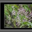 栴檀(センダン)の花
