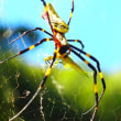 カナブンを捕えた女郎蜘蛛