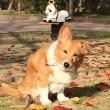 小倉でコーギー犬`まあさ`ちゃんに会う!