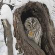 今日の鳥 エゾフクロウ 雪との絡みフクロウを狙いました