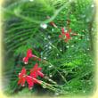 実家の縷紅草