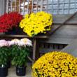 岡崎市の菊と紅葉