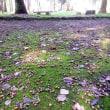 天平の丘公園秋桜