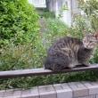 のら猫のミミちゃん。