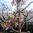 早春の十六夜の月と玉縄桜