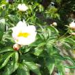 (上)牡丹の花が咲きました。(下)茶摘みができる!