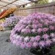 亀戸天神様の菊まつりが始まります。亀戸四丁目交差点傍彩り硝子工芸です。