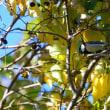 シジュウカラがやって来たのは、ナンキンハゼの木。