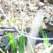 草陰の湿地に、アオジがいた。