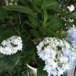 島根の紫陽花 万華鏡今年も美しく咲きました💕