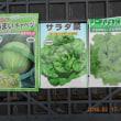 キャベツ サラダ菜 リーフレタスの種を蒔きました