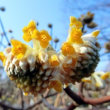 真黄色の三椏の花