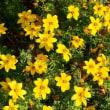花壇に咲く黄色い花。