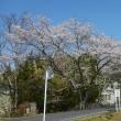 桜がそろそろ満開♪