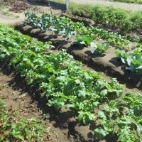 秋晴れの体育の日・・終日畑作業でイチゴの移植