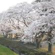 今年も桜、観れました