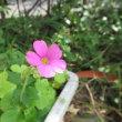 ハナセンナとハネセンナの花