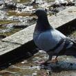 中島公園の野鳥 ③