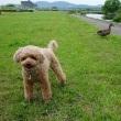 犬とマガモ